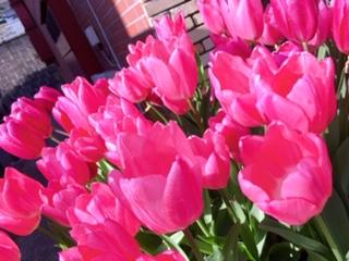 お日様に向かって咲くピンク色のチューリップ